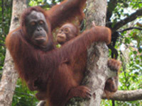 pic_orangutan4.jpg